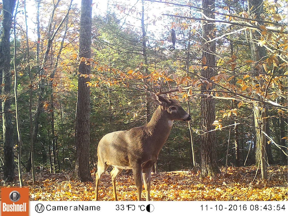 Buck Visiting Mock Scrape