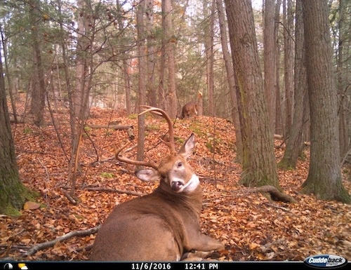 Buck and Doe in the Daytime During the Rut