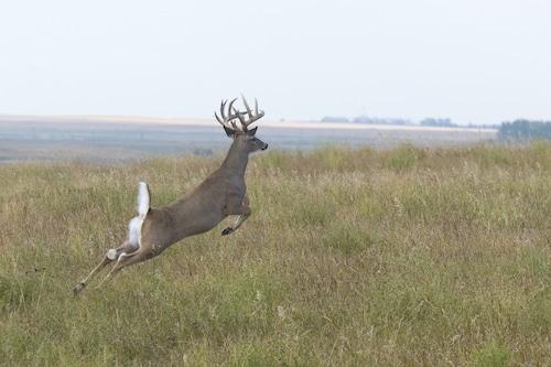 Whitetail Buck Running Away