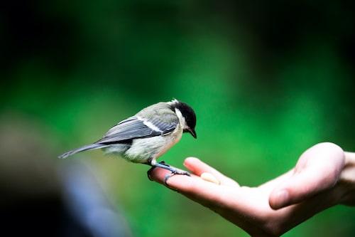 Chicadee in hand