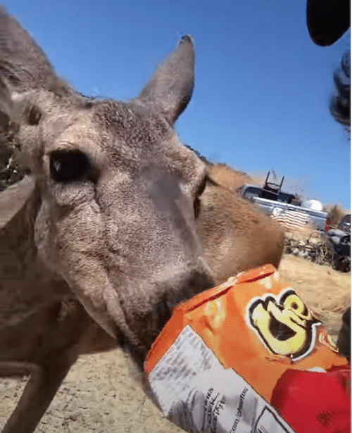 Deer Eating Cheetos