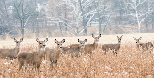 Herd of whitetail deer feeding in field during the day