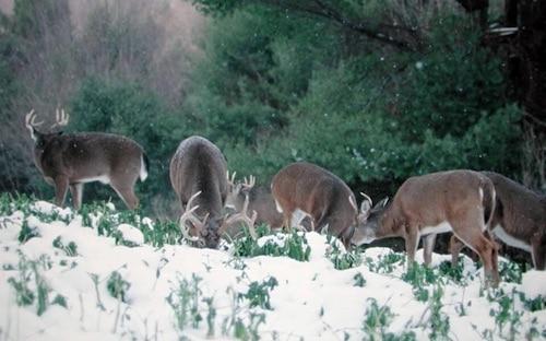 Deer in a field late season