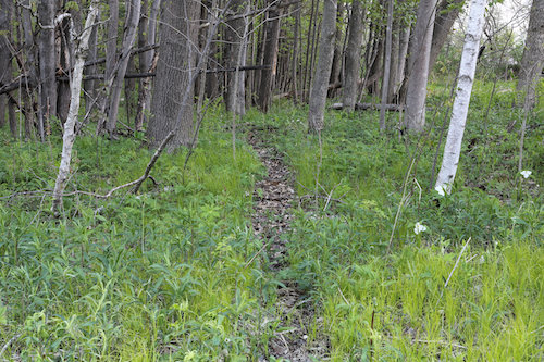 Heavily used Whitetail deer trail