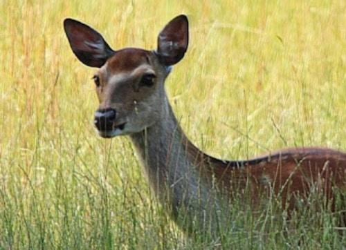 Do deer whistle