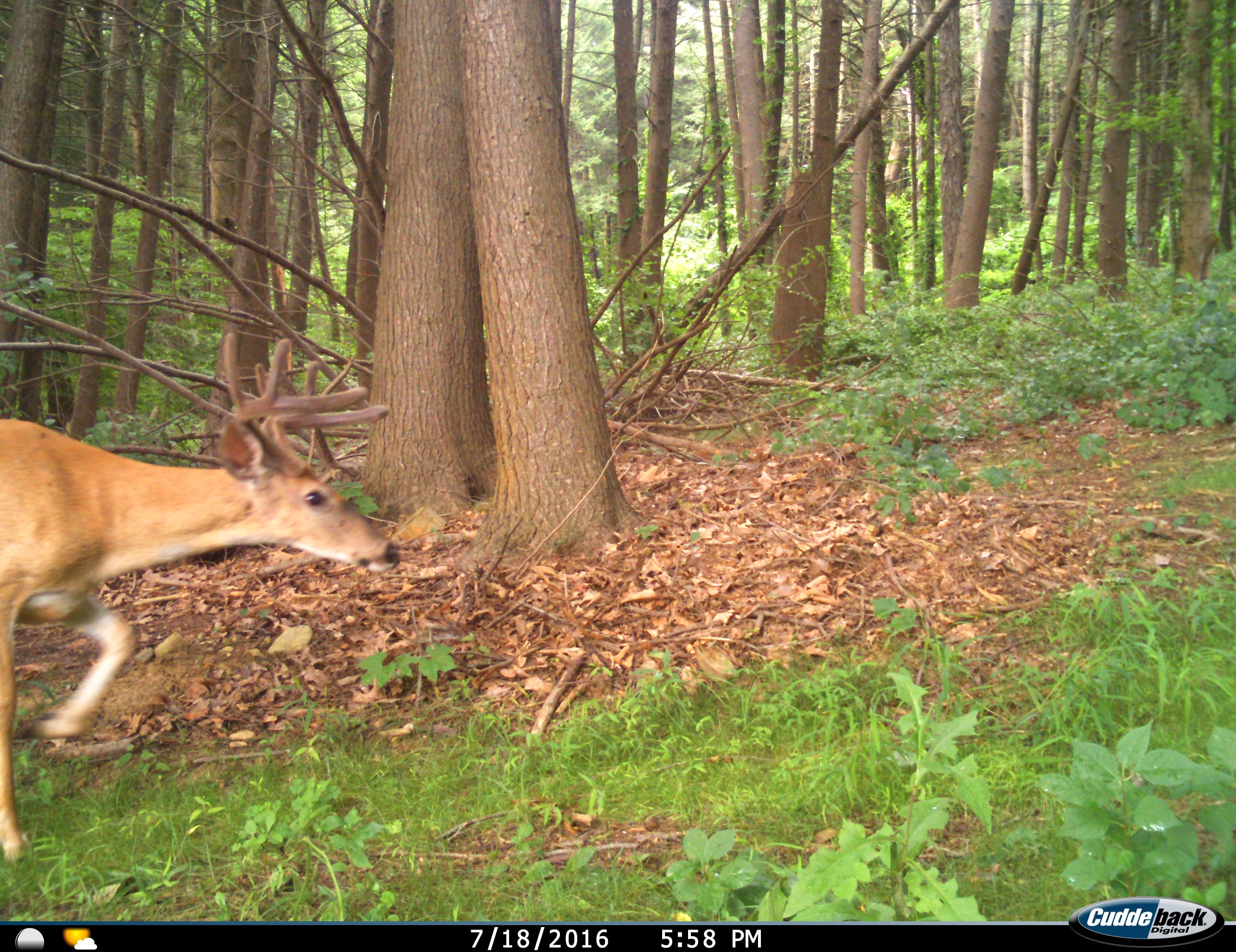 Wide buck entering the food plot