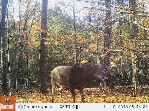 Buck using a mock scrape in a pinch point