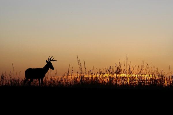 Nocturnal Deer