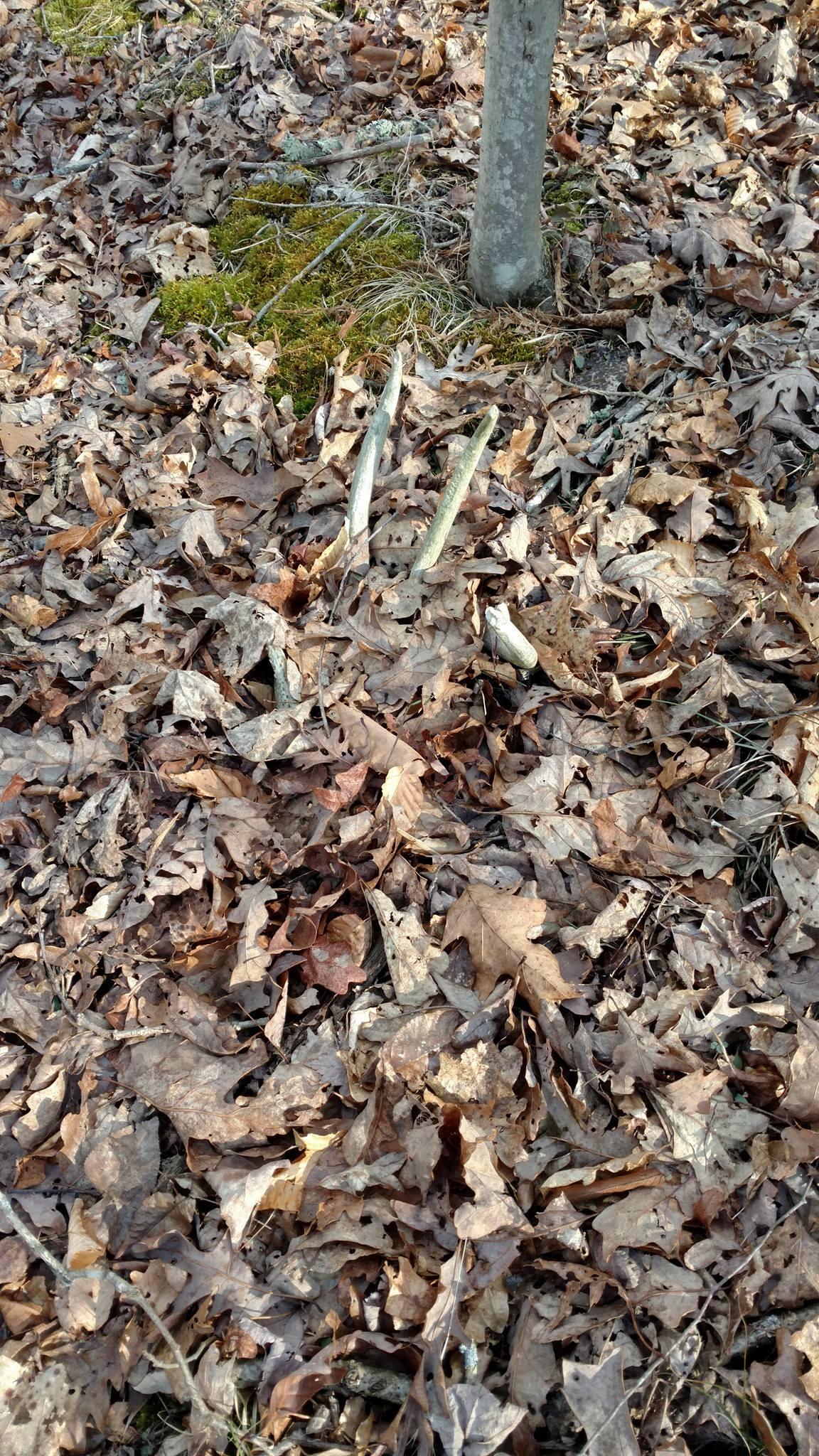Shed antler in the leaves