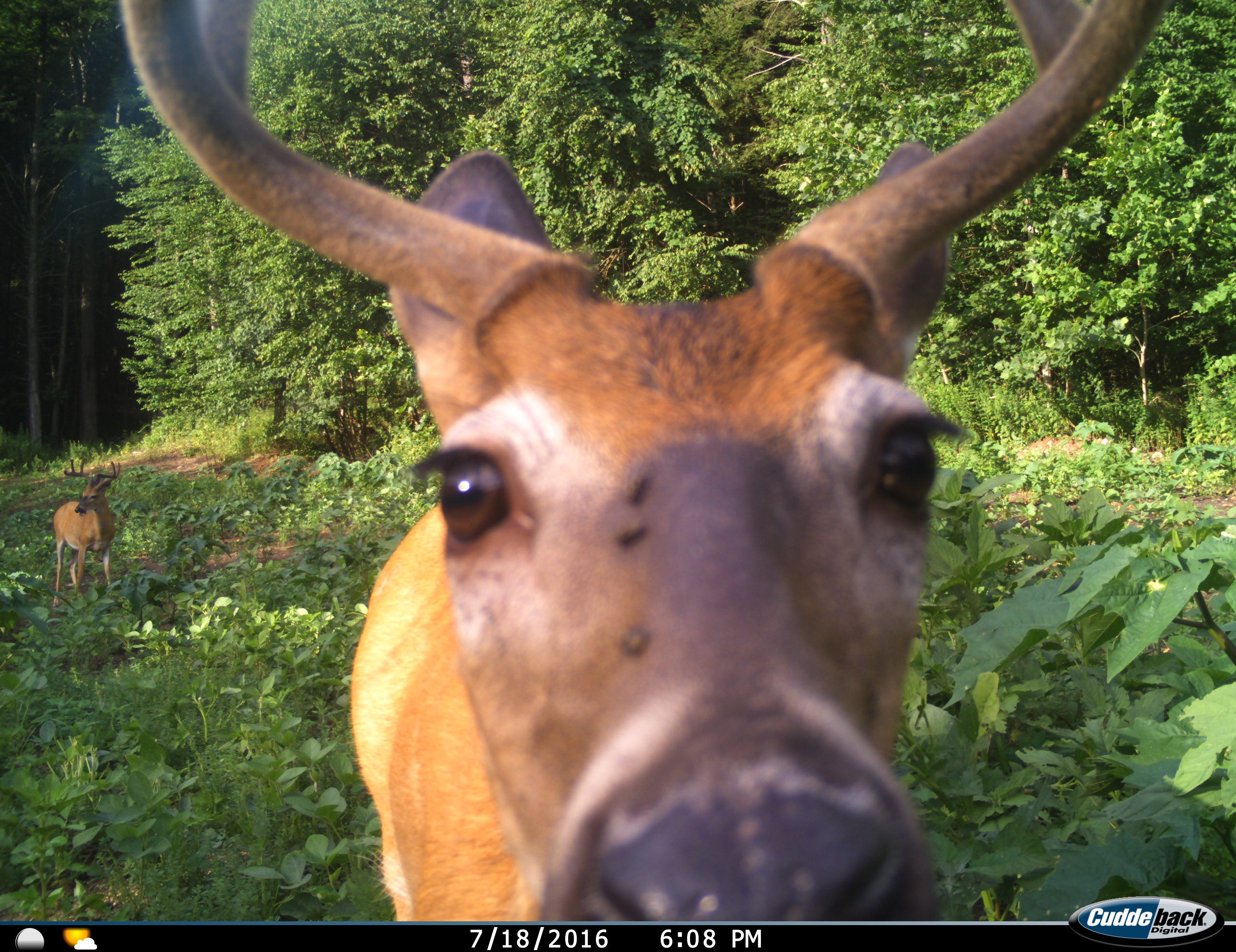 bachelor group in food plot