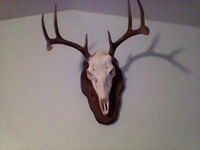 Minnesota buck