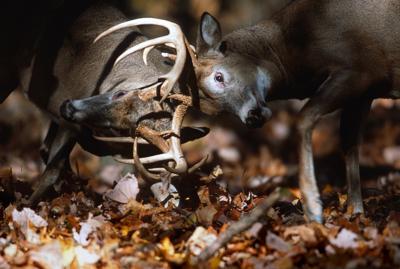 Locked antlers